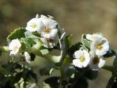 Euphorbia leucophylla