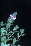 Ononis alopecuroides