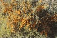Pyracantha crenulata