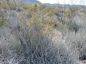 Forestiera angustifolia