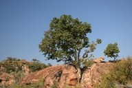 Small-leaved Rock-fig