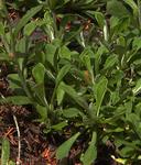Antennaria howellii ssp. howellii
