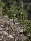 Bromus carinatus var. marginatus