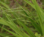 Bromus sitchensis