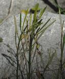 Cardamine occidentalis