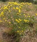 Crepis modocensis ssp. modocensis