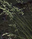 Festuca rubra ssp. rubra