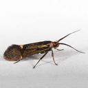 Esperia sulphurella