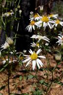Aster radulinus