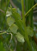 Botrychium crenulatum