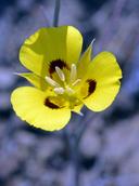 Calochortus syntrophus
