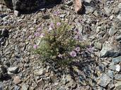 Monardella antonina ssp. benitensis