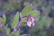 Arctostaphylos myrtifolia