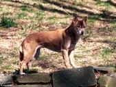 Canis familiaris halstromi