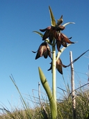 Fritillaria biflora