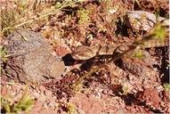 Crotalus molossus molossus