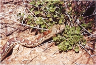 Pituophis catenifer affinis