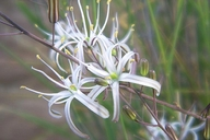 Chlorogalum pomeridianum var. pomeridianum