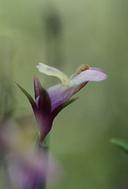 Collinsia sparsiflora var. collina