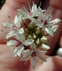 Allium haematochiton