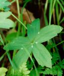 Delphinium patens ssp. patens