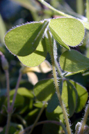 Oxalis albicans ssp. pilosa