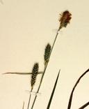 Carex hirtissima