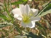 Oenothera deltoides ssp. deltoides