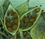 Draba monoensis