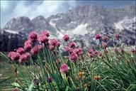 Allium schoenoprasum ssp. alpinum (a. sibiricum)