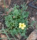 Oxalis albicans ssp. californica