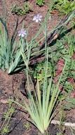 Sisyrinchium bellum