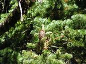 Abies lasiocarpa var. lasiocarpa