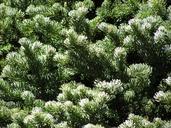 Abies lasiocarpa ssp. lasiocarpa