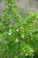Lycium californicum