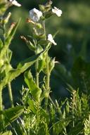 Nicotiana clevelandii
