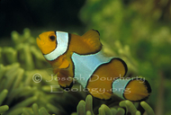 Calphotos browse fish photos by common names for Clown fish scientific name
