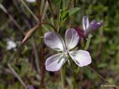 Clarkia similis