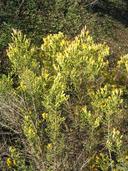 Ericameria palmeri var. palmeri