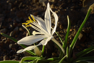 Common Starlily