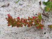 Crassula connata