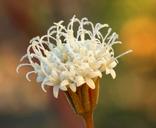 Chaenactis carphoclinia