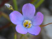 Gilia latiflora ssp. davyi
