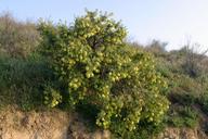 Peritoma arborea