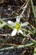 Glossopetalon spinescens