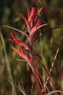 Castilleja minor ssp. spiralis