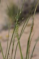 Stipa hymenoides