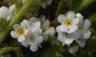 Plagiobothrys parishii