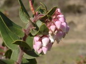 Arctostaphylos pajaroensis