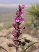 Penstemon calcareus